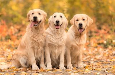 3匹のゴールデン