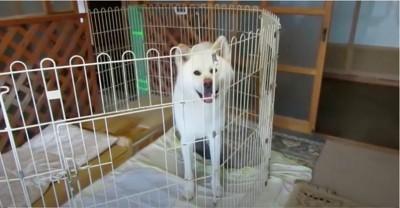秋田犬ゆうき