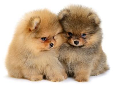 2頭のポメラニアンの子犬