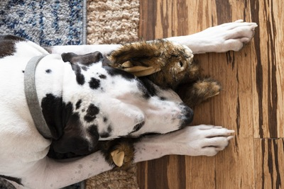 うさぎのおもちゃと眠るダルメシアン