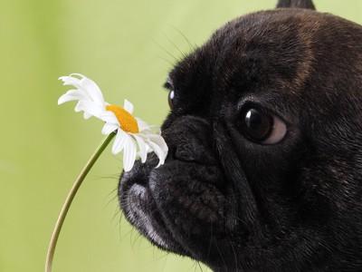 花のにおいをかぐフレブル