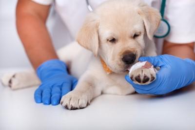 手をケガして治療を受ける子犬