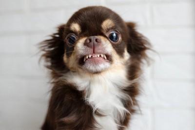 牙を剥いて威嚇しているチワワ