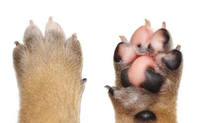 子犬の肉球の裏と表
