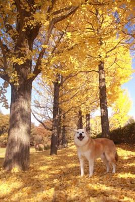 イチョウの木の下でこちらを見ている犬