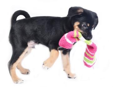 靴下を咥える犬