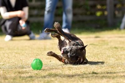ボールを追いかけて芝生で転ぶフレブル