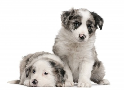 ボーダーコリーのブルーマールの子犬