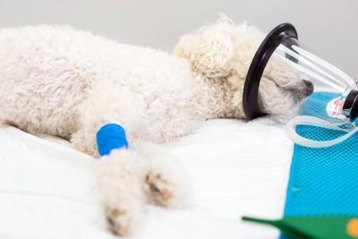 麻酔を吸引して診察台で寝ている犬