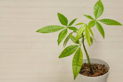 パキラの植木鉢