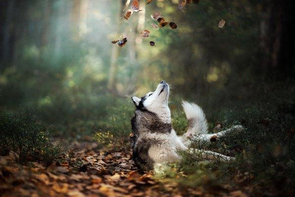 落ち葉の上に寝転がるシベリアンハスキー