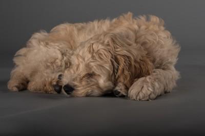 眠るコッカープー