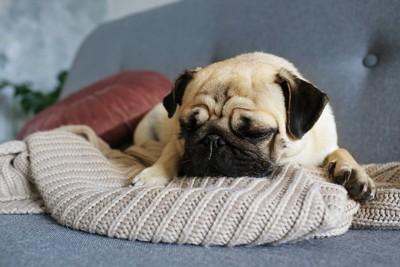 ブランケットの上で眠っているパグ