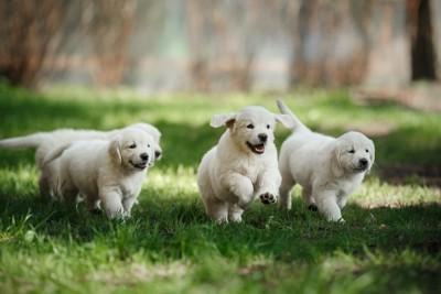 芝生を走るゴールデンレトリバーの子犬たち