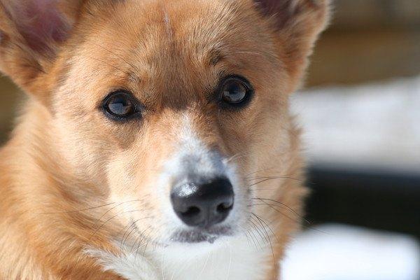 見つめる犬の顔アップ