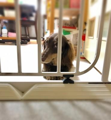 サークルから覗く犬