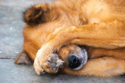 寝転んで前足で顔を隠す犬