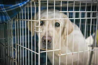 ケージの中から悲しげに見つめる保護犬