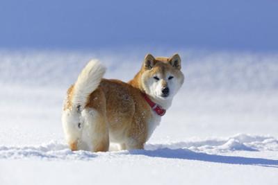 雪の中で振り返る柴犬