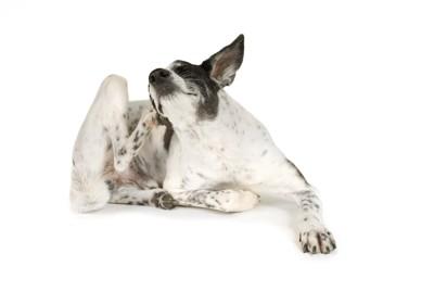 耳が痒くて後ろ足で掻く犬