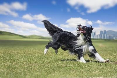 芝生の上を走るボーダーコリー