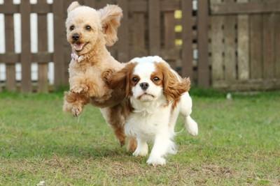 走る二匹の犬