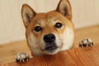 テーブルに手を置いて見つめる柴犬