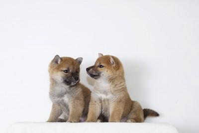 二頭の柴犬の子犬