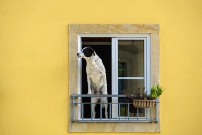 窓が開いたベランダから外を眺める犬