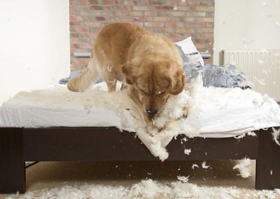 枕をボロボロにする犬