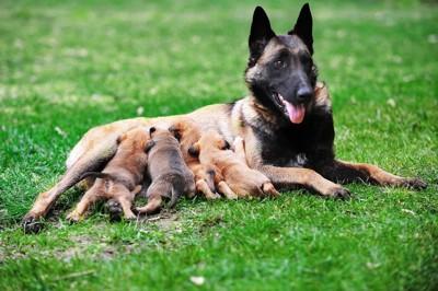 子育て中の犬