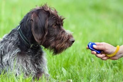 159904853 クリッカートレーニングを受ける成犬