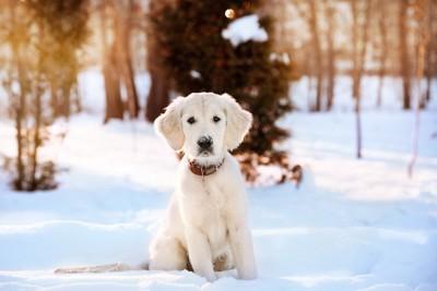 雪の上に座る白いゴールデンレトリバーの子犬