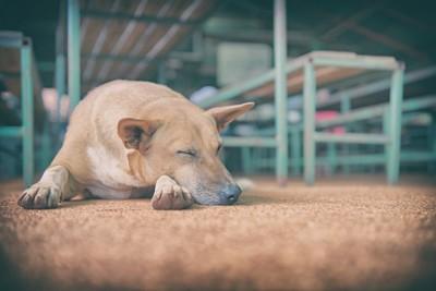 伏せて眠る犬
