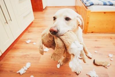 ぬいぐるみを咬んでバラバラにした犬