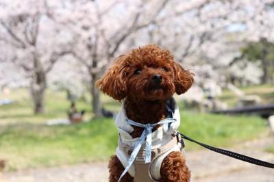 お花見する犬