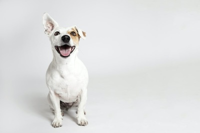 グレーがかった背景と座って見つめる片耳が垂れた犬