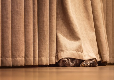 カーテンに隠れている犬