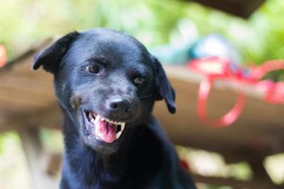 歯をむき出しにしている黒い犬