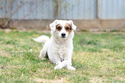 芝生で前脚クロスする目の周りが茶色い犬