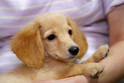 人に抱かれているダックスの子犬