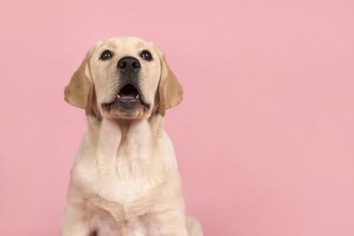 ラブラドール子犬の何か話しているような口元、ピンクの背景