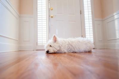 玄関の前で待つ白い犬