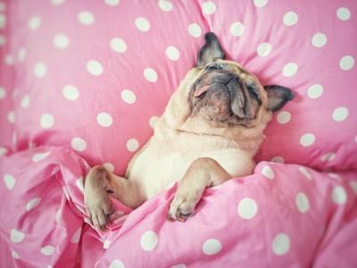 水玉模様のベッドで気持ちよさそうに眠る犬