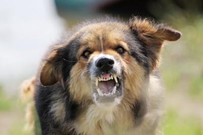 牙を剥く犬