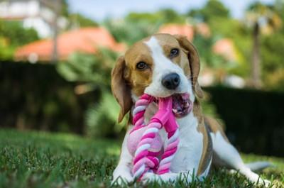 縄のおもちゃで遊ぶ犬