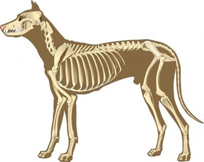 犬の骨格図