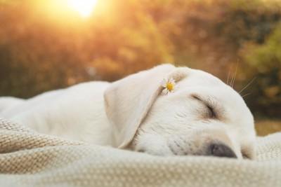 小さな花を顔に乗せて眠る犬