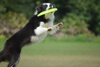 ディスクをキャッチする犬