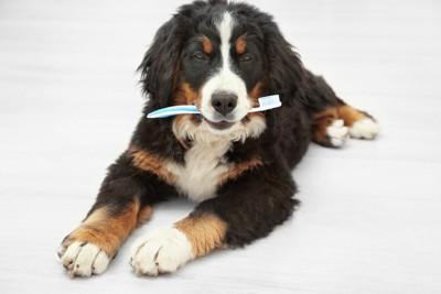 歯ブラシを持つバーニーズ